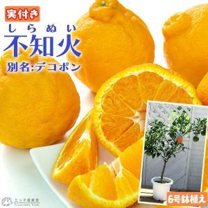 ( 実付き ) デコポン 接ぎ木苗 6号鉢植え ( 不知火 しらぬい ) ※1個なり|produce87