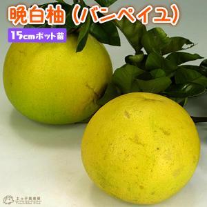 晩白柚 (バンペイユ) 接ぎ木 15cmポット苗
