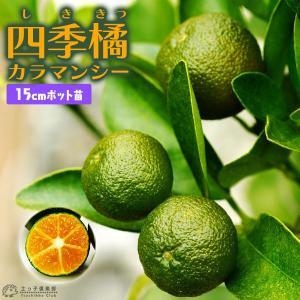 四季橘 『カラマンシー』 2年生 接ぎ木 15cmポット苗 ( 四季柑 )|produce87