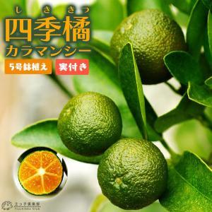 ( 実付き )四季橘 『 カラマンシー 』 5号鉢植え 接木苗 ( 四季柑 )※実付き2〜3個なり|produce87