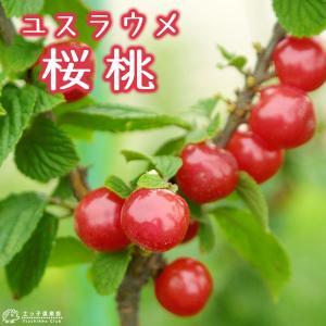 ユスラウメ 15cmポット接木苗|produce87