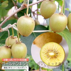 キウイフルーツ 『 ゴールデンキング 』 9cmポット接ぎ木苗 (オス メス 2本組)|produce87
