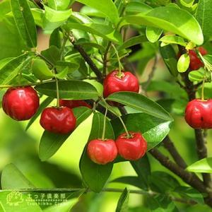 アセロラ 株立ち 大苗|produce87