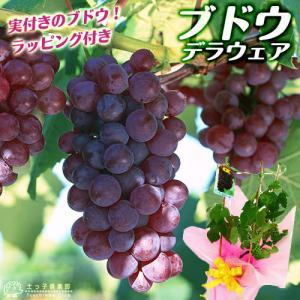 実付き ぶどう『 デラウェア 』 ※ラッピング付き 6号鉢植え|produce87