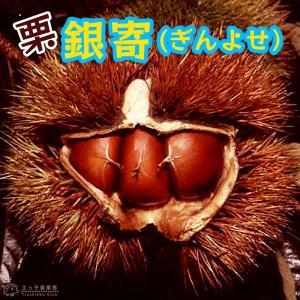 栗 『 銀寄 (ぎんよせ) 』 15cmポット苗|produce87