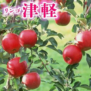 りんご 『 津軽 (つがる) 』 15cmポット苗|produce87