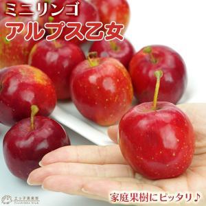 りんご 『アルプス乙女』 15cmポット苗...