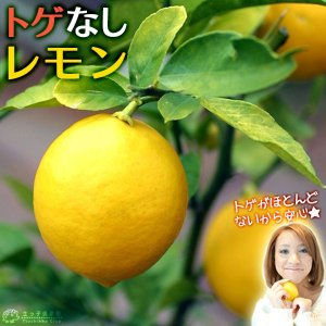 トゲなしレモン 6号鉢植え 接ぎ木苗|produce87
