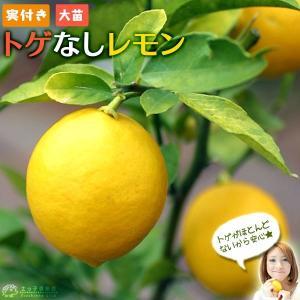 ( 実付き ) レモンの木 『 トゲなしレモン 』 ( 送料無料 ) 接ぎ木 大苗 8号鉢植え ※実付き1個なり|produce87