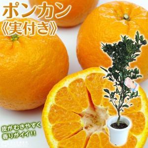 ( 実付き ) ポンカン 接ぎ木苗 6号鉢植え|produce87