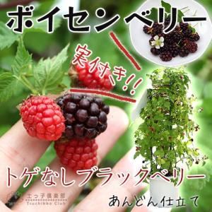 実付き トゲなしブラックベリー 『 ボイセンベリー 』 大苗 8号鉢植え (あんどん仕立て)|produce87