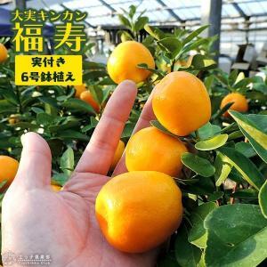 ( 実付き ) 大実キンカン ( 福寿金柑 ) 6号鉢植え|produce87