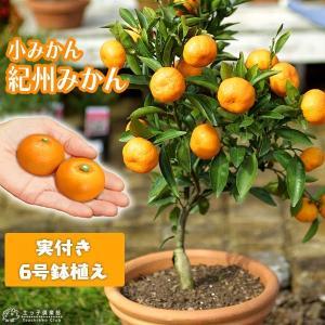 ( 実付き ) 小みかん ( 紀州みかん ) 接ぎ木苗 6号鉢植え|produce87