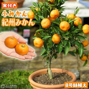 ( 実付き ) 小みかん 『 紀州みかん 』( 送料無料 ) 接ぎ木大苗 8号鉢植え|produce87