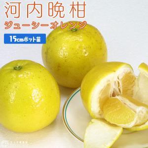 ジューシーオレンジ (河内晩柑) 接ぎ木 15cmポット苗