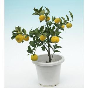 花柚子(一才ゆず)実付き 6号鉢|produce87