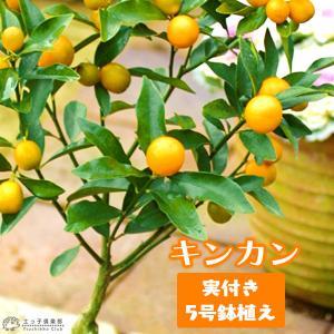 ( 実付き ) 金柑 きんかん 5号鉢植え|produce87