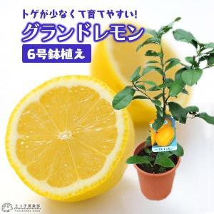 レモン 『 グランドレモン 』 2年生 接ぎ木苗 6号鉢植え|produce87