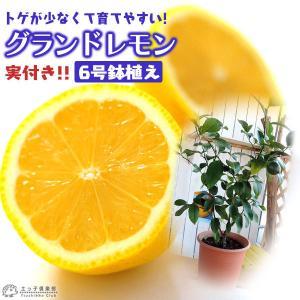 ( 実付き ) レモンの木 『 グランドレモン 』 接ぎ木苗 6号鉢植え (※1個なり)|produce87