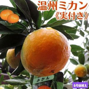 ( 実付き ) 早生温州ミカン  接ぎ木苗 6号鉢植え|produce87