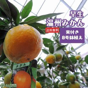 ( 実付き ) 早生温州みかん 『 西海ミカン 』 ( 送料無料 ) 株立ち 接ぎ木 大苗 8号鉢植え|produce87