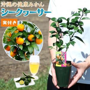 ( 実付き ) 『 シークワーサー』 9cmポット接ぎ木苗|produce87
