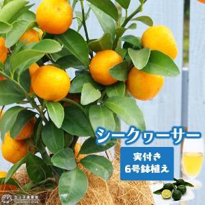 ( 実付き )シークワーサー 接ぎ木苗 6号鉢植え|produce87