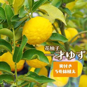 ( 実付き ) 一才ゆず 『 花柚子 』 ユズ 接ぎ木苗 5号鉢植え|produce87