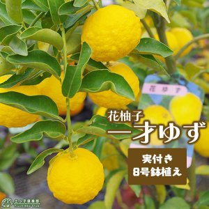 実付き 一才ゆず 『 花柚子 』 ( 送料無料 )ユズ  株立ち 接ぎ木大苗 8号鉢植え produce87