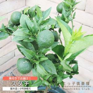 実付き 『 スダチ 』  6号鉢植え|produce87