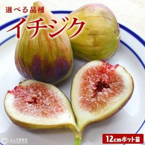 イチジク 12cmポット苗木 (全12品種) 選べる品種