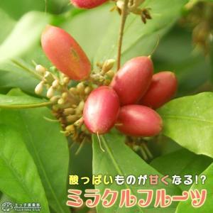 ミラクルフルーツ(ミラクルベリー) 17cm鉢植え|produce87