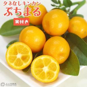 実付き タネなし金柑 『 ぷちまる 』 接ぎ木15cmポット苗|produce87