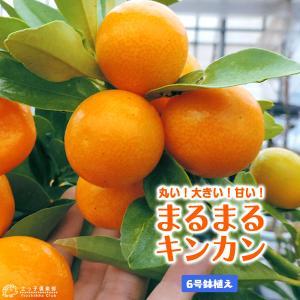 まるまる金柑(キンカン) 6号鉢植え|produce87