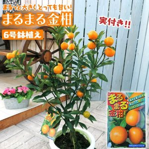 ( 実付き ) まるまる金柑 ( キンカン ) 接ぎ木苗 6号鉢植え|produce87