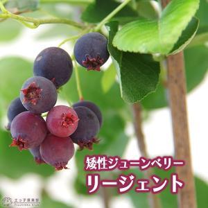 珍種 矮性ジューンベリー  『リージェント』 18cmポット苗|produce87