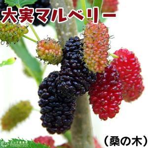 大実マルベリー 桑の木 15cmポット苗木|produce87
