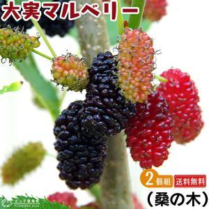 大実マルベリー (桑の木) 2個セット 送料無料 15cmポット苗木|produce87