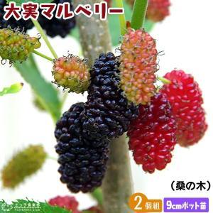 大実マルベリー 桑の木  9cmポット苗木 2個セット|produce87