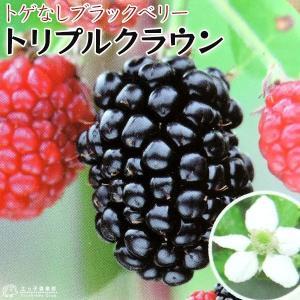 トゲなしブラックベリー 『 トリプルクラウン 』 12cmポット苗|produce87