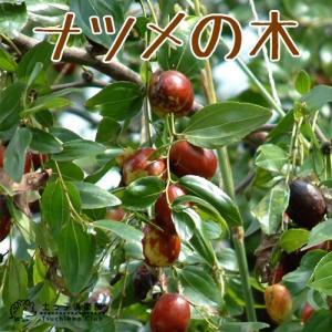 ナツメの木 ( なつめ ) 12cmポット苗|produce87