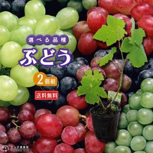 ぶどう 2個セット 送料無料 9cmポット苗 (全8品種 ) 選べる品種|produce87