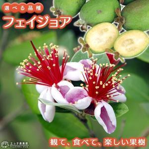 フェイジョア (アポロ、プリティグリーン) 18cmポット苗 (選べる品種)|produce87