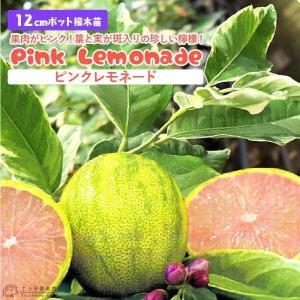 斑入りレモン『ピンクレモネード』(1年生)12cmポット接木苗