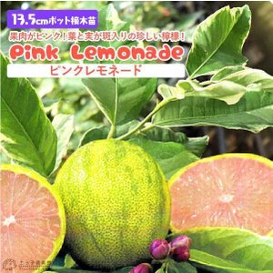 斑入りレモン 『 ピンクレモネード 』 2年生 13.5cmポット接木苗|produce87