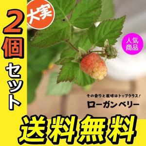 希少 『 ローガンベリー 』 2個セット 送料無料 12cmポット苗|produce87