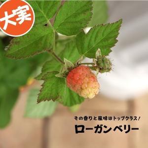 希少 『 ローガンベリー 』 9cmポット苗 (ブラックベリー、ラズベリー)|produce87