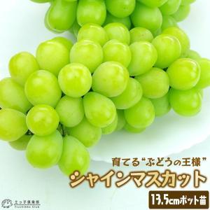 シャインマスカット 13.5cmポット 2年生挿木苗|produce87
