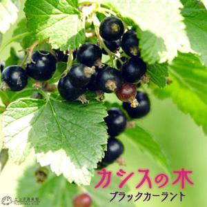 カシスの木 ( 黒フサスグリ、ブラックカーラント ) 12cmポット苗|produce87