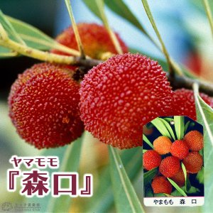 ヤマモモ 『 森口 (もりぐち) 』 15cmポット接木苗|produce87